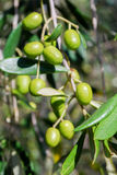 Green olives Royalty Free Stock Photo