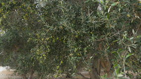 Green olives grow on trees. The camera shooting olive trees on the plantation. Trees grow on an oil production farm. The wind is blowing and the branches with stock video footage