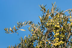 Green olives on olive tree against blue sky Stock Photos