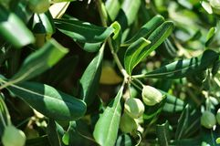 Green olives on olive tree Royalty Free Stock Images