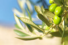 Green olives on olive tree - outdoors shot Stock Photo