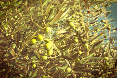 Green olives on the olive tree - vingage version Royalty Free Stock Photography