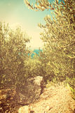 Green olives on the olive tree - vingage version Royalty Free Stock Photos