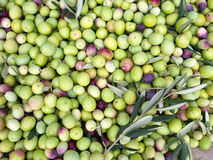 Green olives ready for processing Royalty Free Stock Photography
