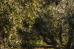 Green olives ripening on olive tree Stock Photography