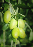 Green olives on a tree. Detail Royalty Free Stock Images