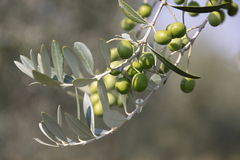 Green olives on the tree Royalty Free Stock Image