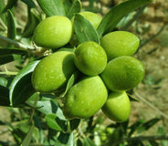 Green olives tree. Olive tree branch with green olives from Croatia Stock Photography