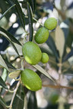 Green olives on a tree Royalty Free Stock Images