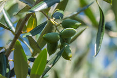 Green olives on a tree Royalty Free Stock Photo