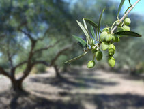 Green olives on the tree Stock Images