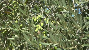 Green olives on tree close up, sunny day. Italy. Green olives on tree close up, sunny day, Italy stock video