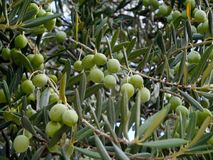 Green olives in a tree at a Croatian breeder Royalty Free Stock Image