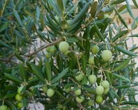 Green olives in a tree Stock Photography