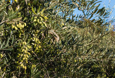 Green olives on tree in olive grove Stock Image