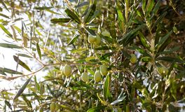 Olives in the tree top. Green olives in the olives tree top Royalty Free Stock Images