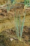 Green onion farm. Stock Photography