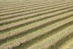 Green onion farm. Royalty Free Stock Image