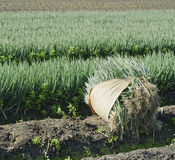Green onion field in harvesting farmland Royalty Free Stock Image
