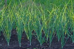 Green onion field Royalty Free Stock Image