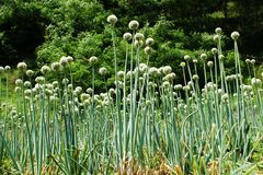 Green Onion Flowers Royalty Free Stock Photos