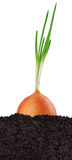 Green onion in the ground Royalty Free Stock Photo