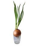 Green onion grow in the glass Royalty Free Stock Photo