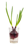 Green onion growing in a glass with water Royalty Free Stock Photography