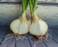 Green onion growing. Green onion roots on a wooden background. Plant roots Royalty Free Stock Photos