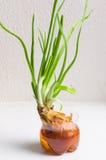 Green onion Stock Image