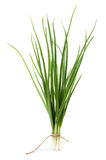 Green onion isolated Royalty Free Stock Image
