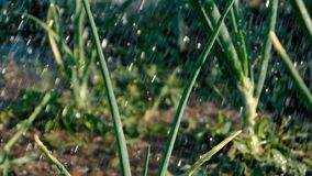 Green onion leaves under the showering water droplets in summer in slo-mo. Cheery view of young green onion leaves under the sparkling showering water droplets stock footage