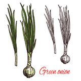 Green onion, leek or scalion vegetable sketch. Green onion vegetable isolated sketch of scallion with fresh leaf. White bulb and green stalk of spring onion or Stock Image