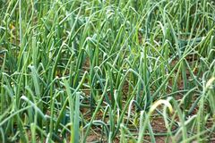 Green onion plants in soil Royalty Free Stock Photography