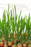Green onion. Ripe green onions in a box Stock Photos