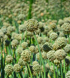 Green onion seeds. Stock Images