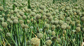 Green onion seeds. Royalty Free Stock Image