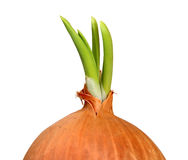 Green onion sprout closeup isolated Royalty Free Stock Photo