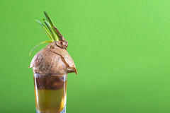 Green onion sprout Stock Image