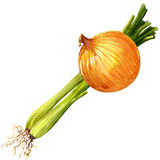 Green onion. Watercolor painting on white background Stock Image