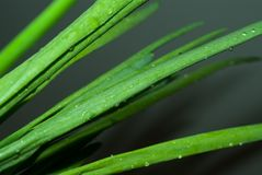 Green onions Royalty Free Stock Photography