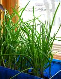 Green onions. Winter. Crop of green onions on window sill stock photo