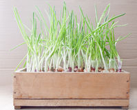 Green onions in a  box Stock Images
