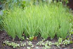 Green onions in garden Royalty Free Stock Photos