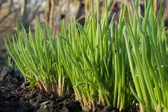 Green onions in the garden. Green onions in a spring garden stock images