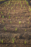 Green onions in the garden Royalty Free Stock Photography