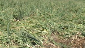 Onion on the field. stock footage