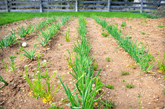 Green Onions Garden Royalty Free Stock Photography