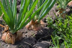 Green onions grow from the ground. Close-up of the onion plantation. Collecting onions in the garden stock photography