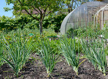 The green onions grow in a kitchen garden Royalty Free Stock Photos
